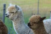 Elevage d'alpagas; production et travail de la laine